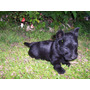Hermosos Cachorritos Scottish Terrier Negros, 100% Puros!!!