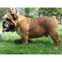 Bulldog Ingles Para Monta (registrado) No Se Vende