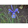 Semilla De Iris Azul.