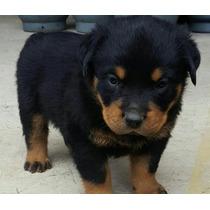 Cachorros Rottweiler Pura Raza