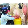 Vacas Lecheras Lactotropina