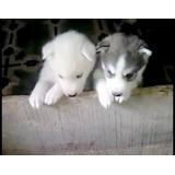 Cachorros Lobo Siberiano De Raza Pura