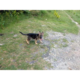 Vendo Cachorro Pastor Alemán El Mejor Macho De La Camada Pur