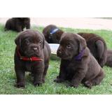 Labrador Chocolate Y Negro 100 %puro Envio Nal Guacal Gratis