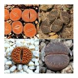 10 Semillas Lithops Cactus Piedra Mix  16 Epecies + Obsequio