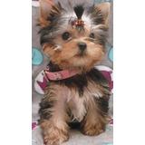 Niña York Shire Terrier Cachorros Yorky Cali Medellin Bogota