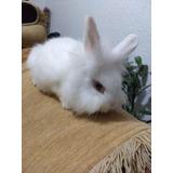 Hermosos Conejos Cabeza De León Puros