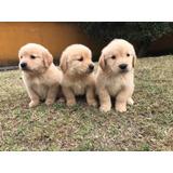 Golden Retriever - La Granja Cachorros