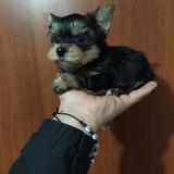 Hermosos Cachorritos Yorkshire Terrier Mini