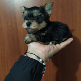 Hermosos Cachorritos Yorkshire Terrier Mini