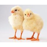 Pollos, Pollitos De Raza Ross Y Cobb De 1 Dia En Adelante.