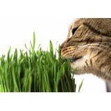 Hierba Gatera O Gatuna, Pasto Anti-estresante Para Gatos