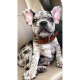 Bulldog Frances Exoticos Blue Y Merle Medellin Cali Bogota