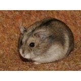 Venta De Hamster Enano Ruso