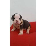 Hermosas Bulldog Ingles
