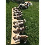 Cachorros San Bernardos Pelo Largo 100% Puros