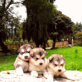 Cachorros Alaskan Malamute.de Montaña Criadero Canino