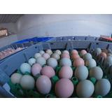 Gallinas Criollas Ponedoras: Huevo Color 17 Semanas