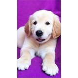 Perros Golden Retriever Cachorros