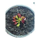Plantas Carnivoras Venus Atrapamoscas Pequeña $14.000