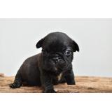 Bulldog Frances Macho Negr  Triple Carrier $1,700.000
