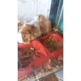 Conejillos De Indias, Cobayas, Curys