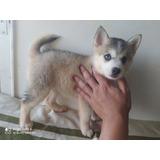 Vendo Cachorros Lobo Miniatura Pomsky Siberiano Mini Pomskie