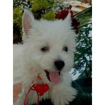 Adorables Tacitas Westyn Terrier