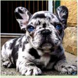 Vendo Bulldog Francés Exótico Blue Merle Ojos Azules Puros