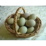 Pollas Criollas Ponedoras Con 9 Semanas