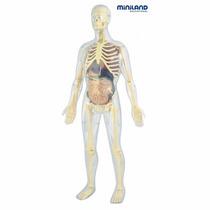 Modelo Anatomico Del Cuerpo Humano Esqueleto Y Organos 56 Cm