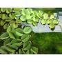Planta Flotante Para Acuario Salvinia Natans Porción X 10 Cm