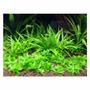 Planta Tapizante Para Acuario Echinodorus Quadricostatus