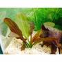 Planta Natural Para Acuario Echinodorus Ozelot X 1 Planta