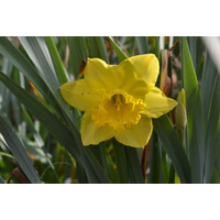 Semilla De Narciso Amarillo (tulipán Estrella)