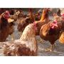 Proyecto Gallinas Ponedoras+pollos+pavos+codorniz+patos