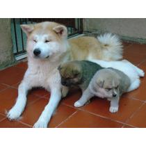 Akita Inu Cachorros