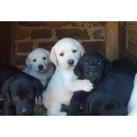 Cachorros Labrador 100% Puros Envio Nacional Y Guacal Gratis