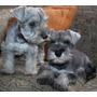 Cachorros Schnauzer  Mini.. Puros Garantizados Sal Pimienta   RUBEN024